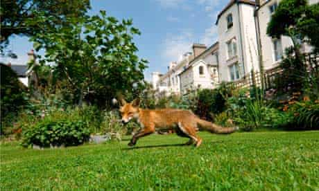 An urban fox in a town garden during daylight.