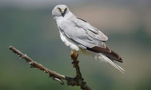 A male hen harrier perched on dead branch