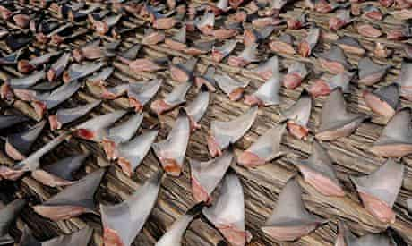 Shark fins spread out to dry on the edge of the Arabian desert.