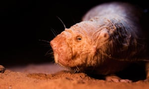 A naked mole rat