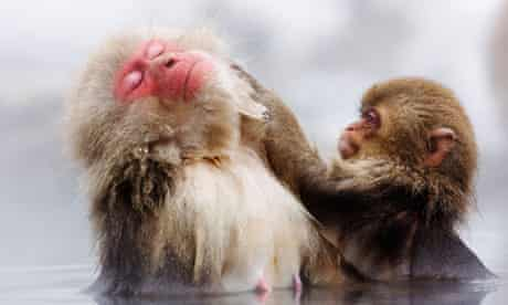 Japanese Macaques Grooming, Jigokudani Onsen, Nagano, Japan