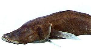 Typhlerotris mararybe