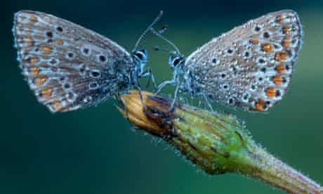 Two Common Blue butterflies (Polyommatus icarus) facing one another, North Tirol, Austria