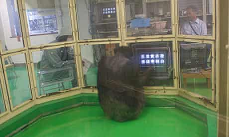 Chimpanzee Ai tests her cognitive skills using Japanese kanji characters.