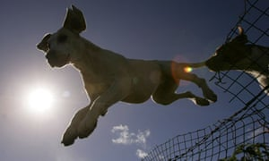 Hounds are silhouetted as they jump over fence