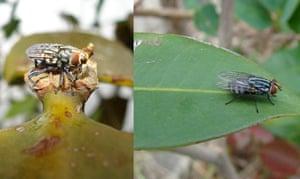 The Brazilian weevil