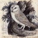 Owl engraving by Thomas Bewick