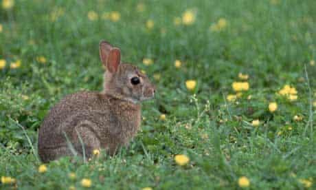 Rabbit - Juvenile Eastern Cottontail