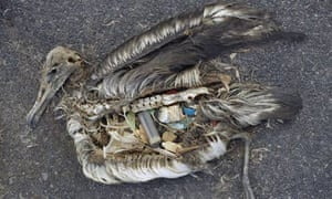 Albatross chick in Midway toll posioned by plastic