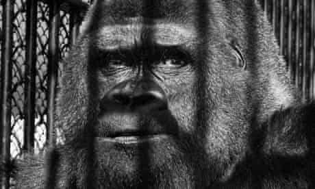 Guy the Gorilla, by Wolf Suschitzky