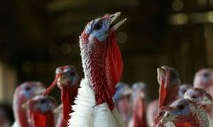 An American Turkey farm