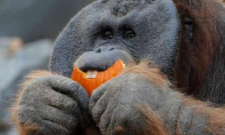A matter of taste … orangutans are the Gaudis of the jungle.