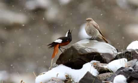 Ghulam Rasool's shot of white-winged redstarts in northern Pakistan