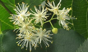 A blossoming lime tree