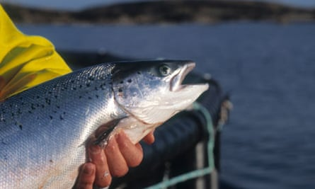 Organic farmed salmon in the waters off North Uist western isles scotland