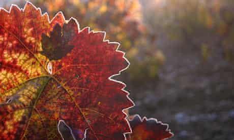 vineyard leaves in autumn
