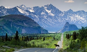Alaska. Cow Moose (Alces alces gigas) crosses the Glenn Highway with Chugach Mountains beyond.