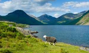 Herdwick Sheep, The Lake District, UK