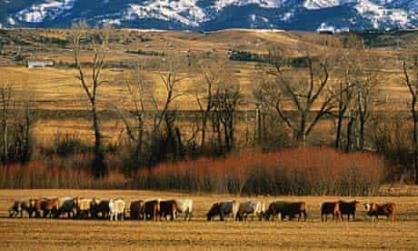 Cattle in Montana