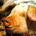 Gloucester Old Spot piglet