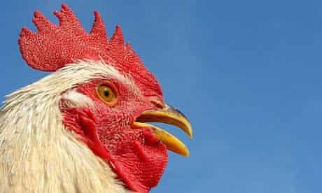 Rooster cockerel