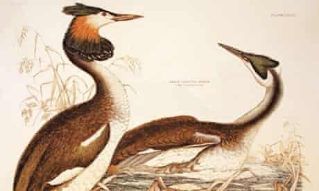 Julian Huxley illustration of crested grebes