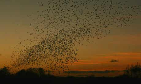 Starlings Signal Winter's Arrival