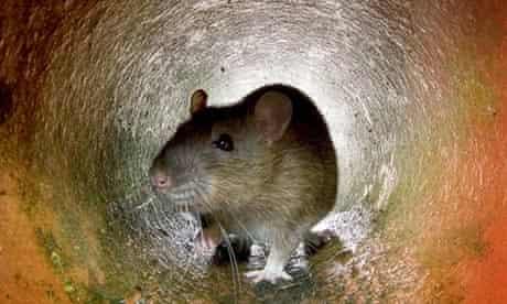 A rat in a London drain