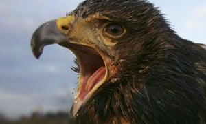 A Harris hawk.