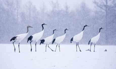 Red-Crowned Cranes on Feeding Grounds in Winter