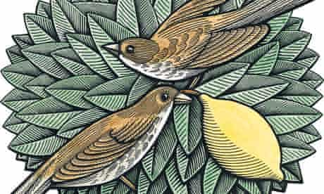 Illustration by Clifford Harper showing thrushes in a lemon tree