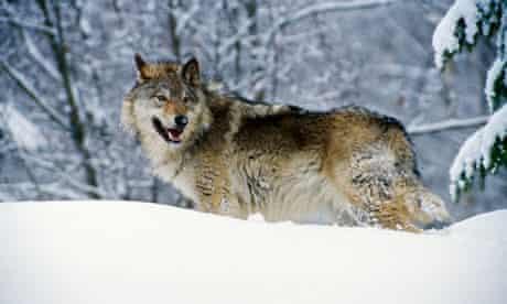 Gray wolf in snow, Montana, USA