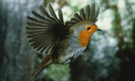 Robin redbreast flying