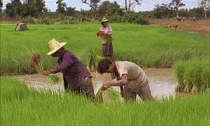 cambodia VILLAGERS HARVESTRICE FIELD