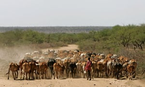 ethiopia cattle water drought