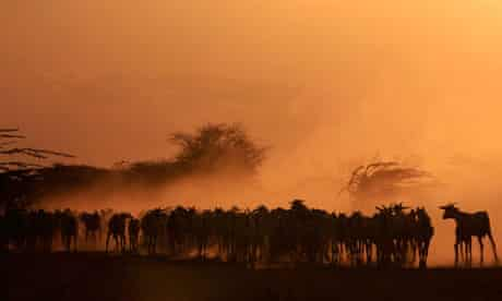 A herd of goats are seen in a field at Dadaab refugee camp