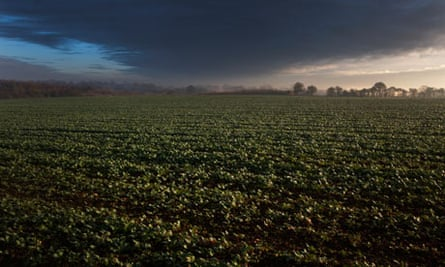 Stormy clouds over a field of sugar beet