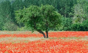 European union … a walnut tree in a field of poppies in Touraine, France.