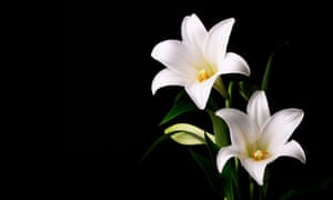 Dead, flowers … Bellow's narrator is asked to deliver some lilies for a young girl's wake.