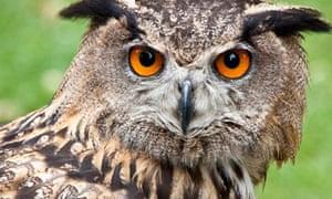 A Eurasian eagle owl