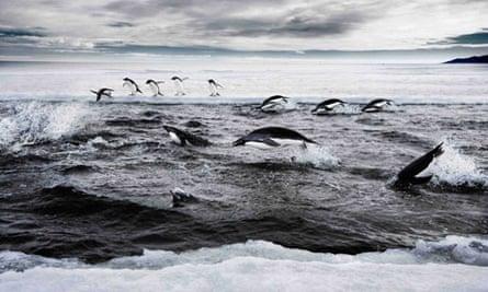 Adelie penguins hunt on the Ross Sea off Antarctica