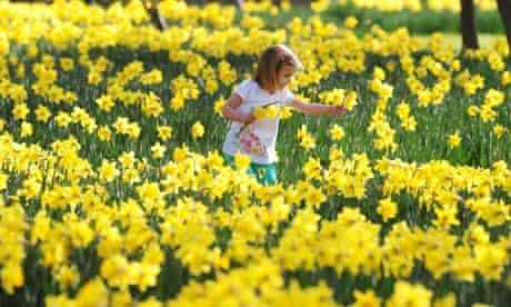 A host, of golden daffodils … Whitley Bay, Tyneside, last week.