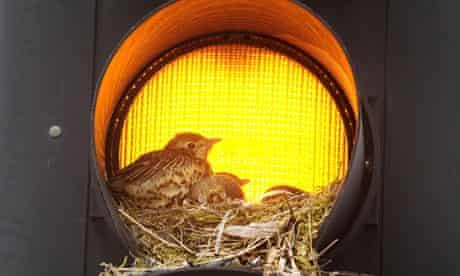 Thrushes nest in traffic lights