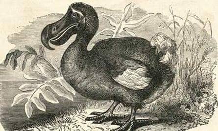 Basic extinct … an engraving of a dodo.