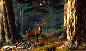 A red deer stag in the Scottish highlands