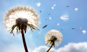Dandelion seeds in flight