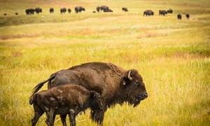Buffalo in Nebraska