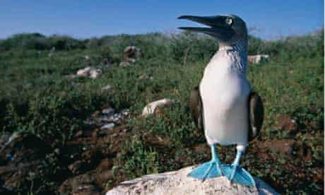 Blue Footed Boobie in Galapagos Islands National Park