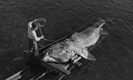 In cold blood … a freshly caught basking shark is pulled out of the sea at Gavin Maxwell's fishery o