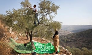 Olive harvesting in the West Bank